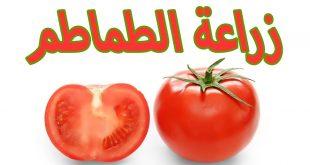كيفية زراعة الطماطم , اسهل طريقة لزراعة الطماطم