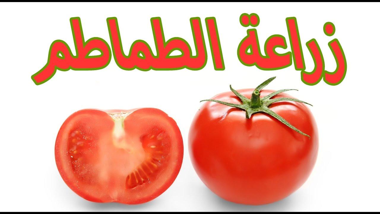 صورة كيفية زراعة الطماطم , اسهل طريقة لزراعة الطماطم