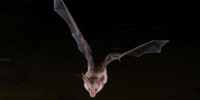 صورة رؤية الخفاش في المنام , تفسير الحلم بالخفاش