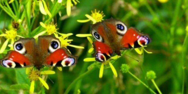 صورة الفراشة في المنام , تفسير ظهور الفراشة فى المنام