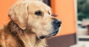 رؤيه الكلاب في الحلم , الكلاب في المنام و تفسيرها