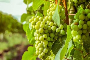 صورة تفسير حلم اكل العنب الاخضر للعزباء , العنب في الحلم