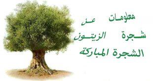 صورة خاتمة تعبير عن شجرة الزيتون , شجرة الزيتون رمزالسلام