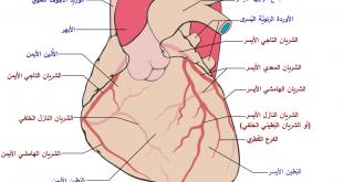 عدد شرايين القلب , اضف الى معلوماتك واعرف عدد شرايين القلب