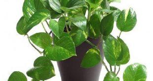 انواع نباتات الزينه المنزليه واسمائها ,نباتات الظل واسمائها