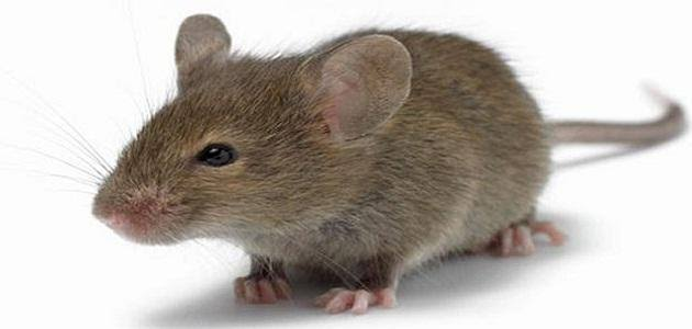 صورة تفسير الفئران الصغيره في المنام ,رؤية فئران صغيرة في المنام 95 1