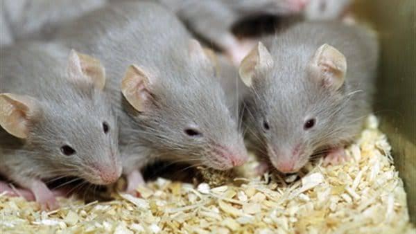 صورة تفسير الفئران الصغيره في المنام ,رؤية فئران صغيرة في المنام 95 2
