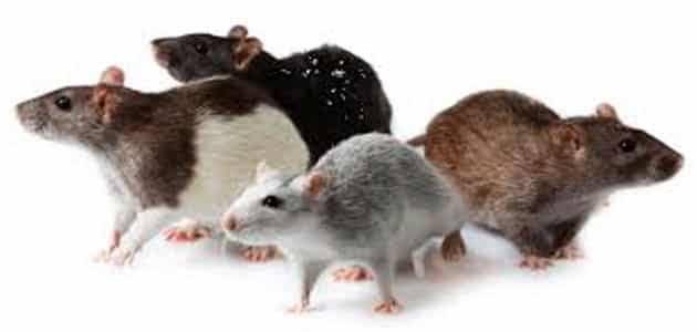 صورة تفسير الفئران الصغيره في المنام ,رؤية فئران صغيرة في المنام